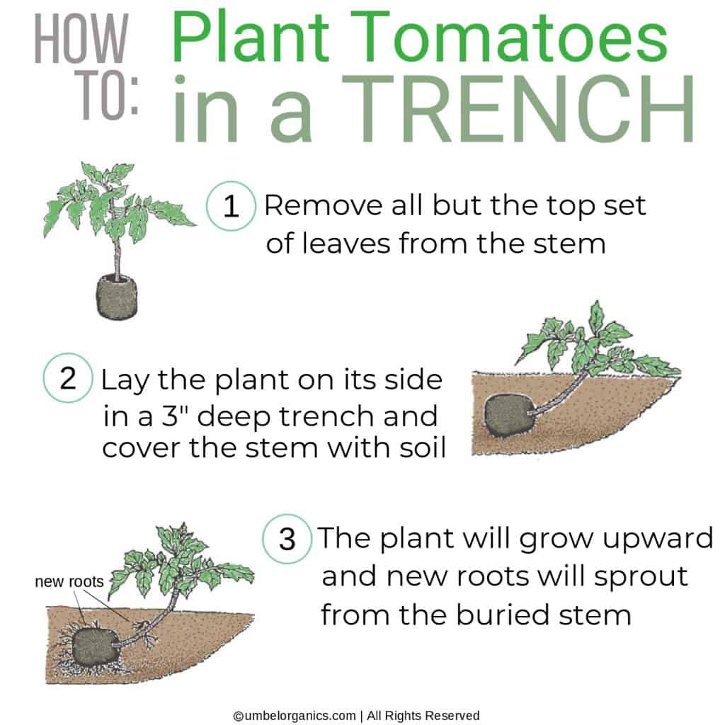 Infographic with 3 steps to planting a tomato plant in a trench