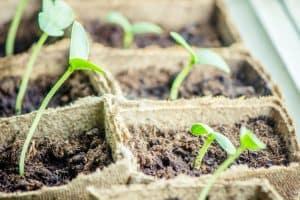 Leggy vegetable seedlings near window