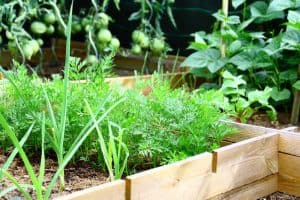 Raised garden bed with carrot leaves, onions, green tomatoes and beans growing up a trellis