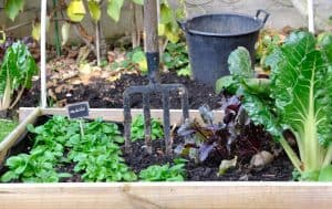 Raised Garden Beds with leafy greens, beets, and Swiss chard
