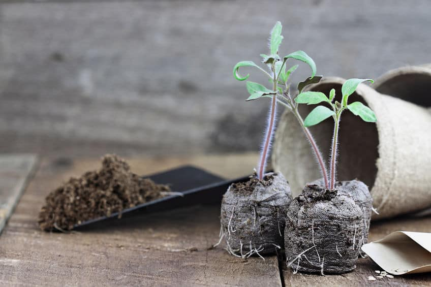 Tomato Seedlings in Peat Pots with trowel