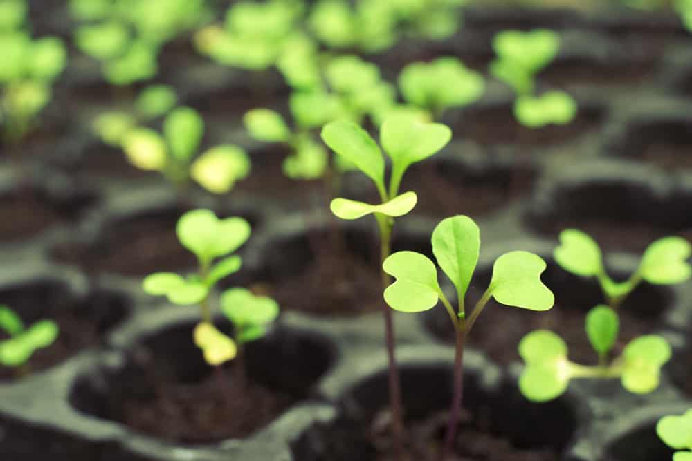 Vegetable seedlings with yellow leaves