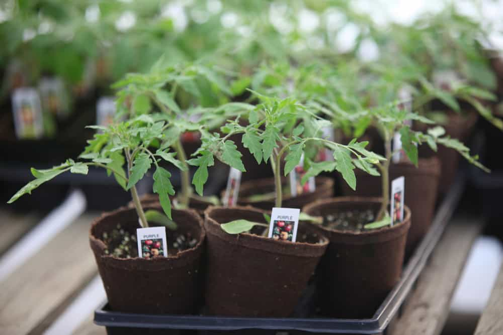 Young Tomato Plants in a Tray