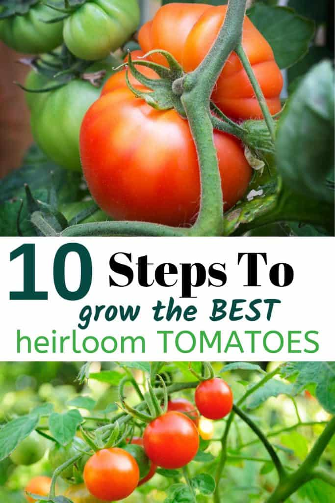 Heirloom Tomatoes on Vine With Text 10 Steps To Grow The Best Heirloom Tomatoes