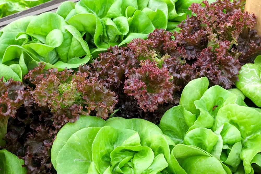Rows of Butter lettuce and red leaf lettuce planted in vegetable garden