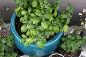 Basil in ceramic container outside with oregano in smaller pots