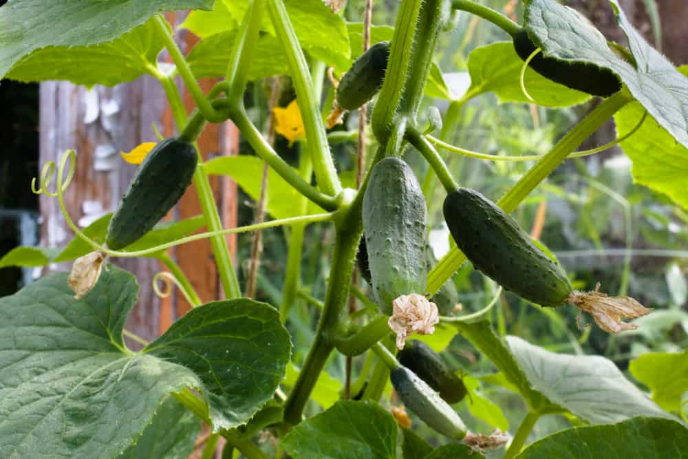 growing cucumbers in the garden, close up