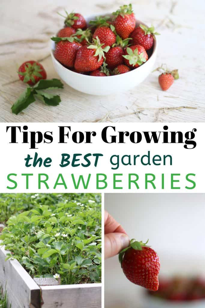 Tips For Growing Strawberries With images of garden strawberries in bowl and strawberry flowers