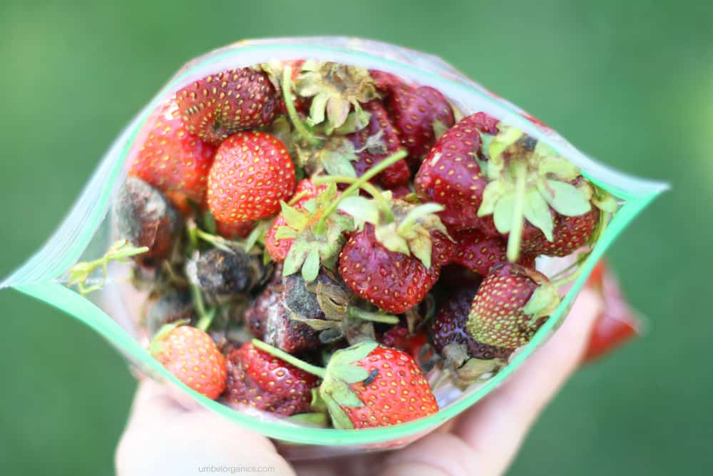 Strawberries infected with Spotted Wing Drosophila