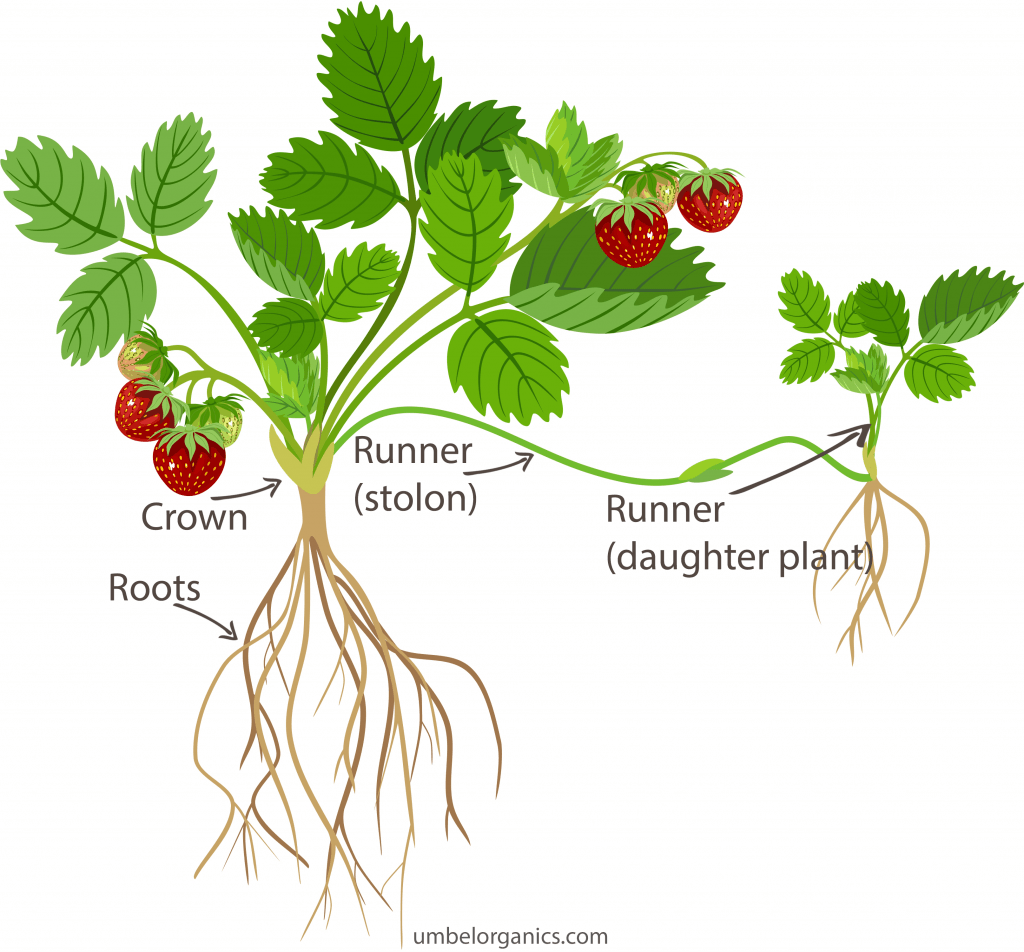 Diagram of strawberry plant with runners