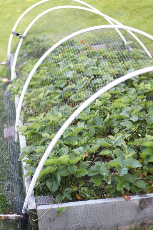 Strawberry garden bed with hoop tunnel netting to protect from pests