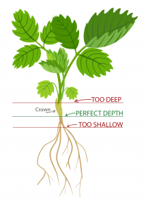 Diagram of strawberry plant and the correct planting depth