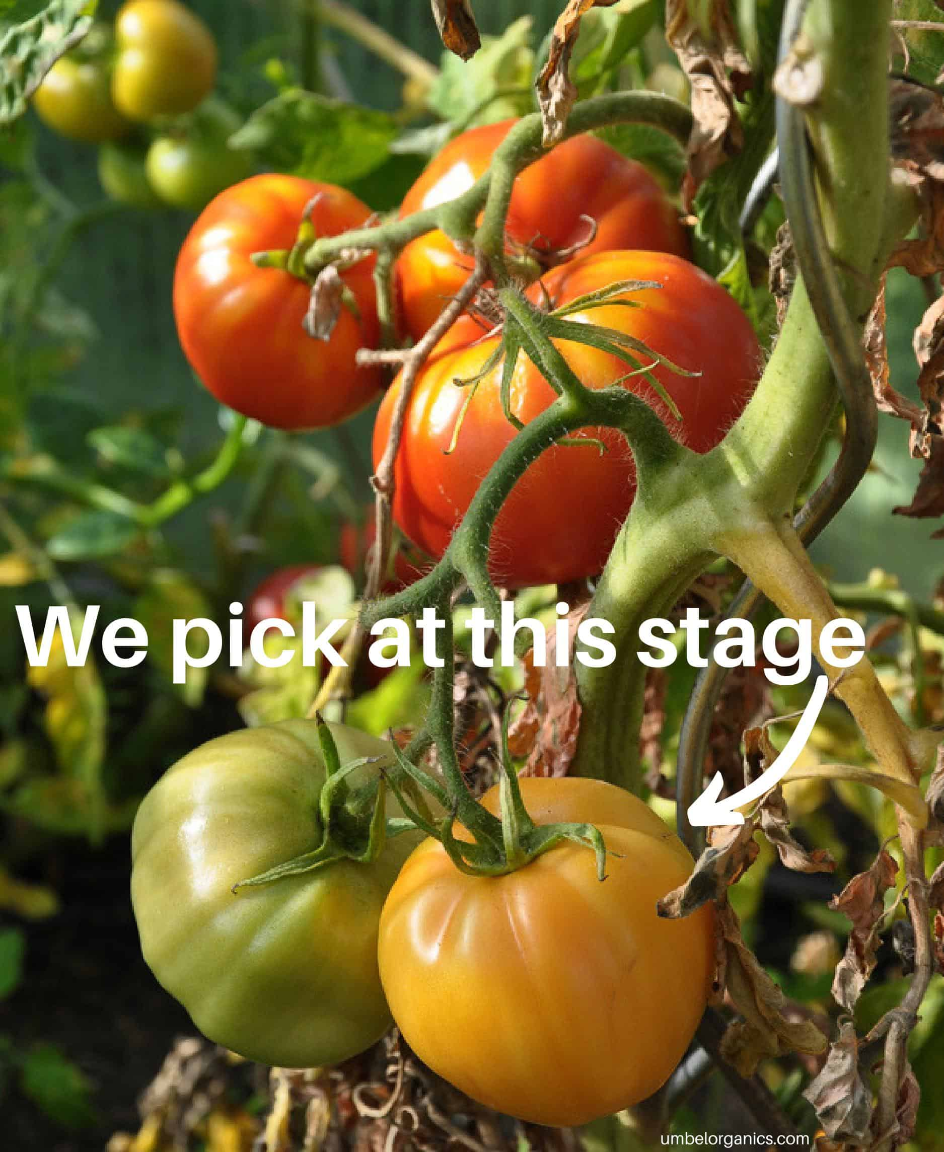 Heirloom tomatoes on vine at different stages of development and color.