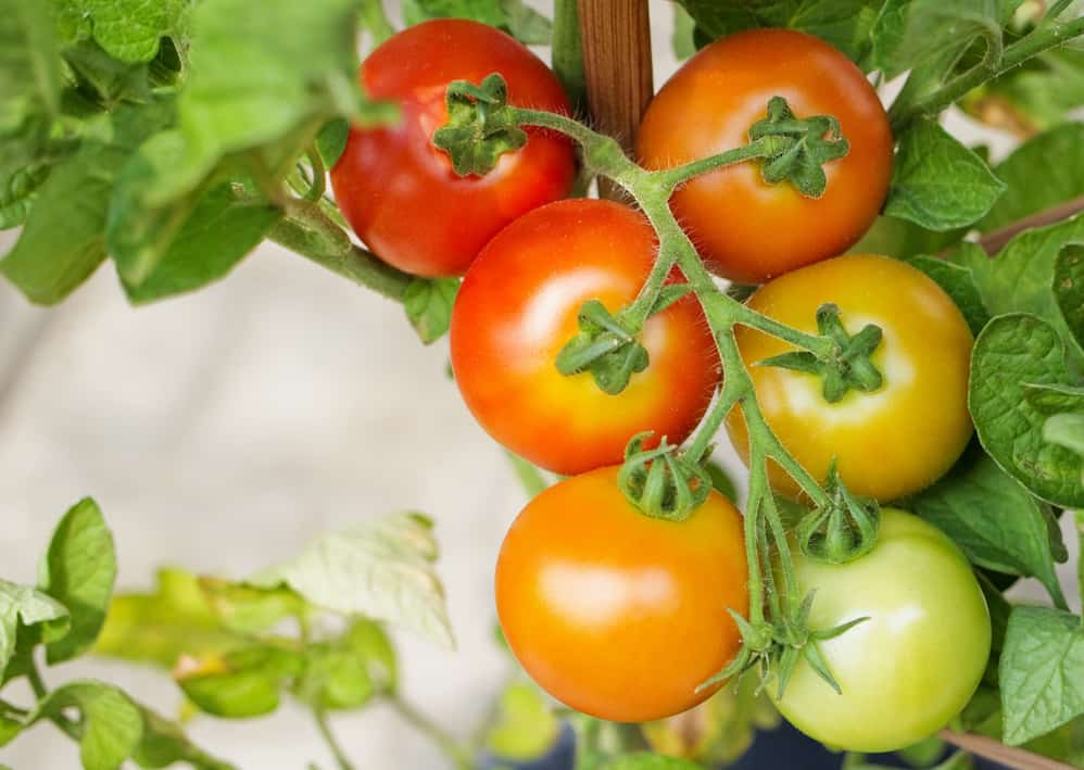 Ripening tomatoes on branch surrounded by leaves.