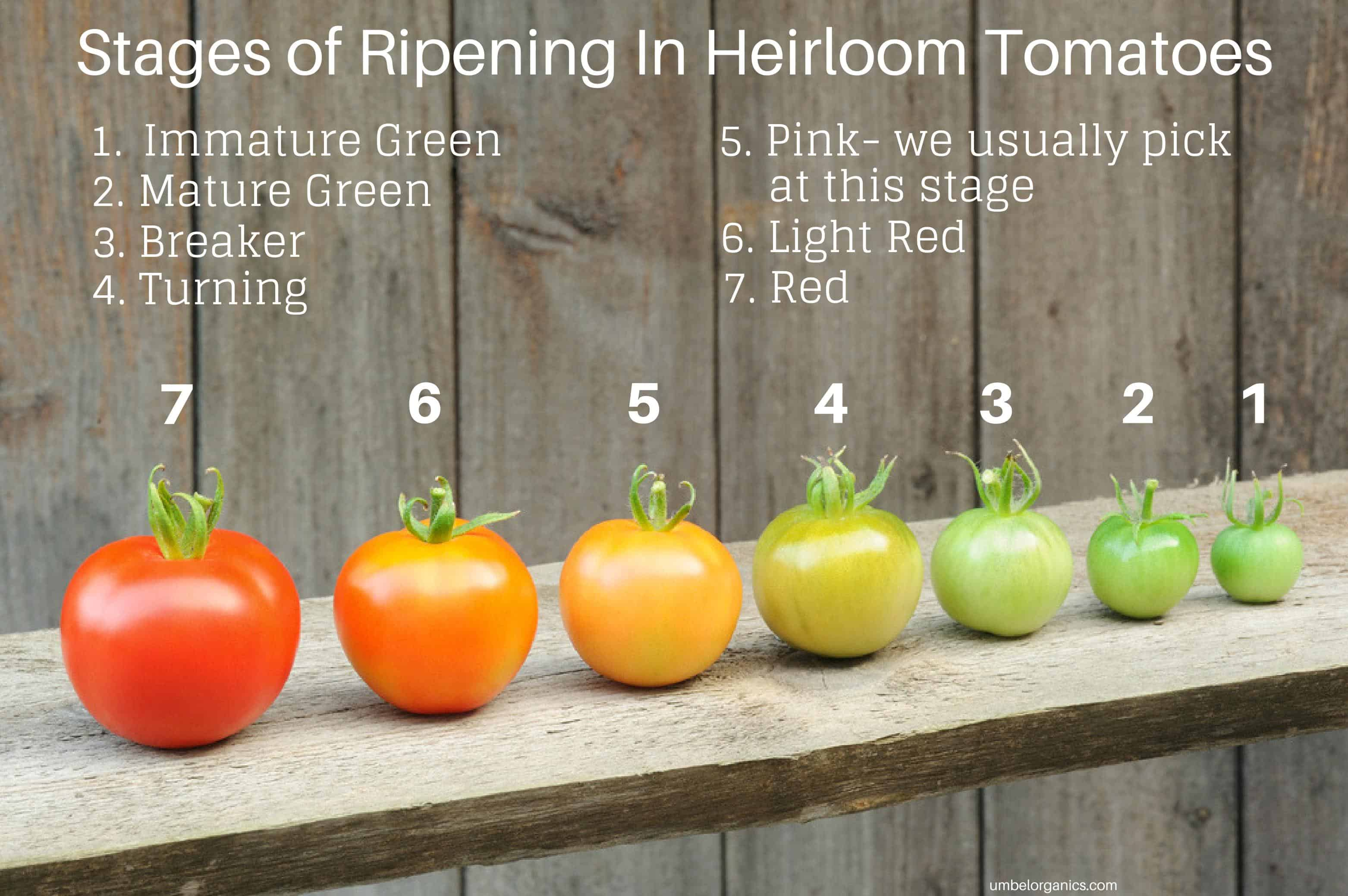 The stages of tomato ripening (1-7), from green tomato to red tomato