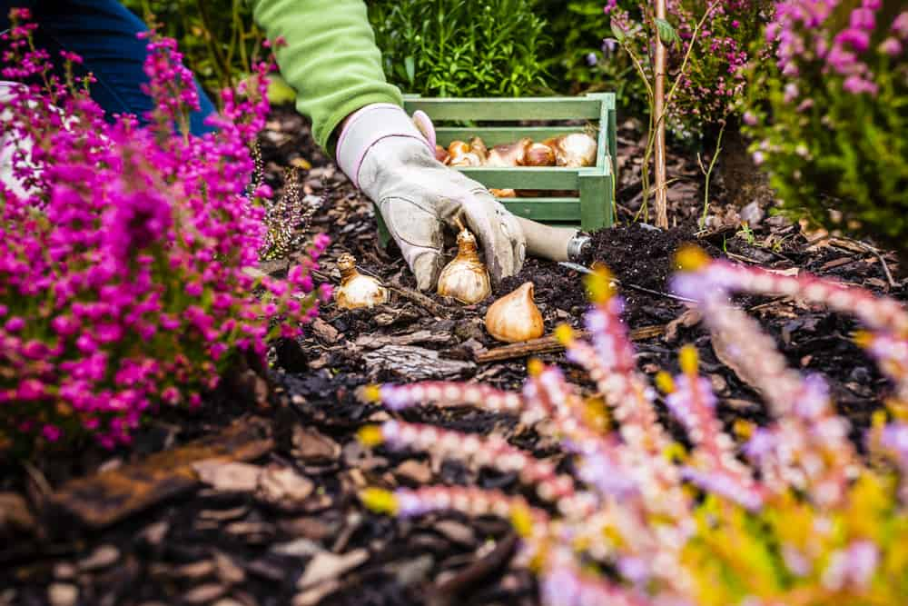 Planting bulbs in the fall for spring flowers