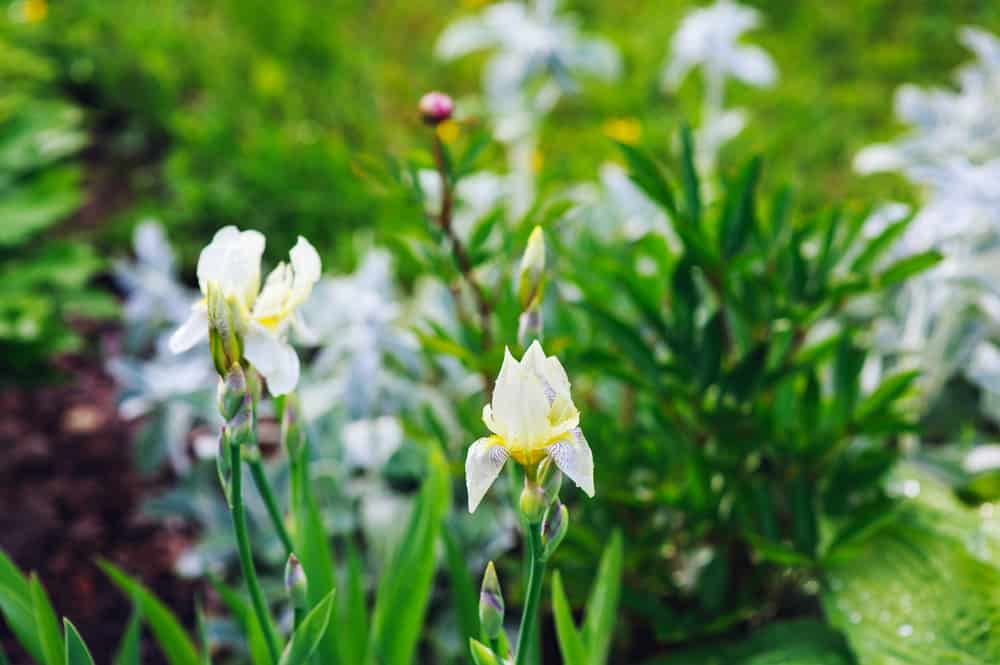 spring blooming garden with white irises