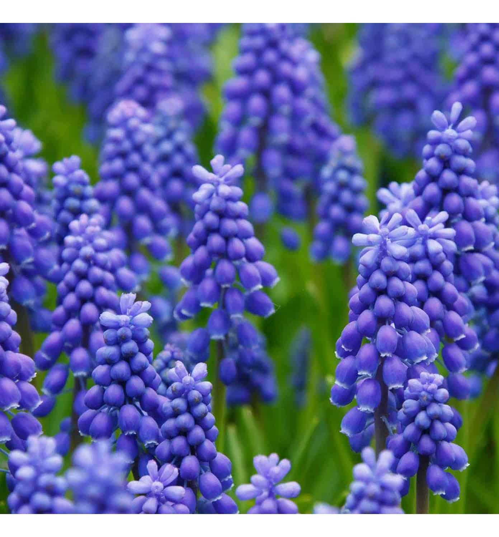 purple grape hyacinth (muscari)