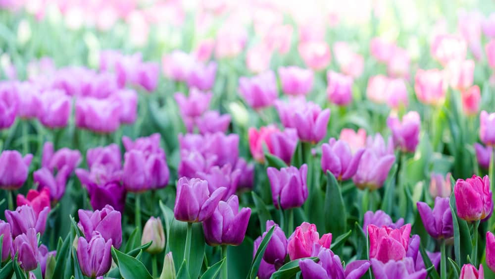 Beautiful pink tulips in the spring time. Colorful tulips flowers in the garden.