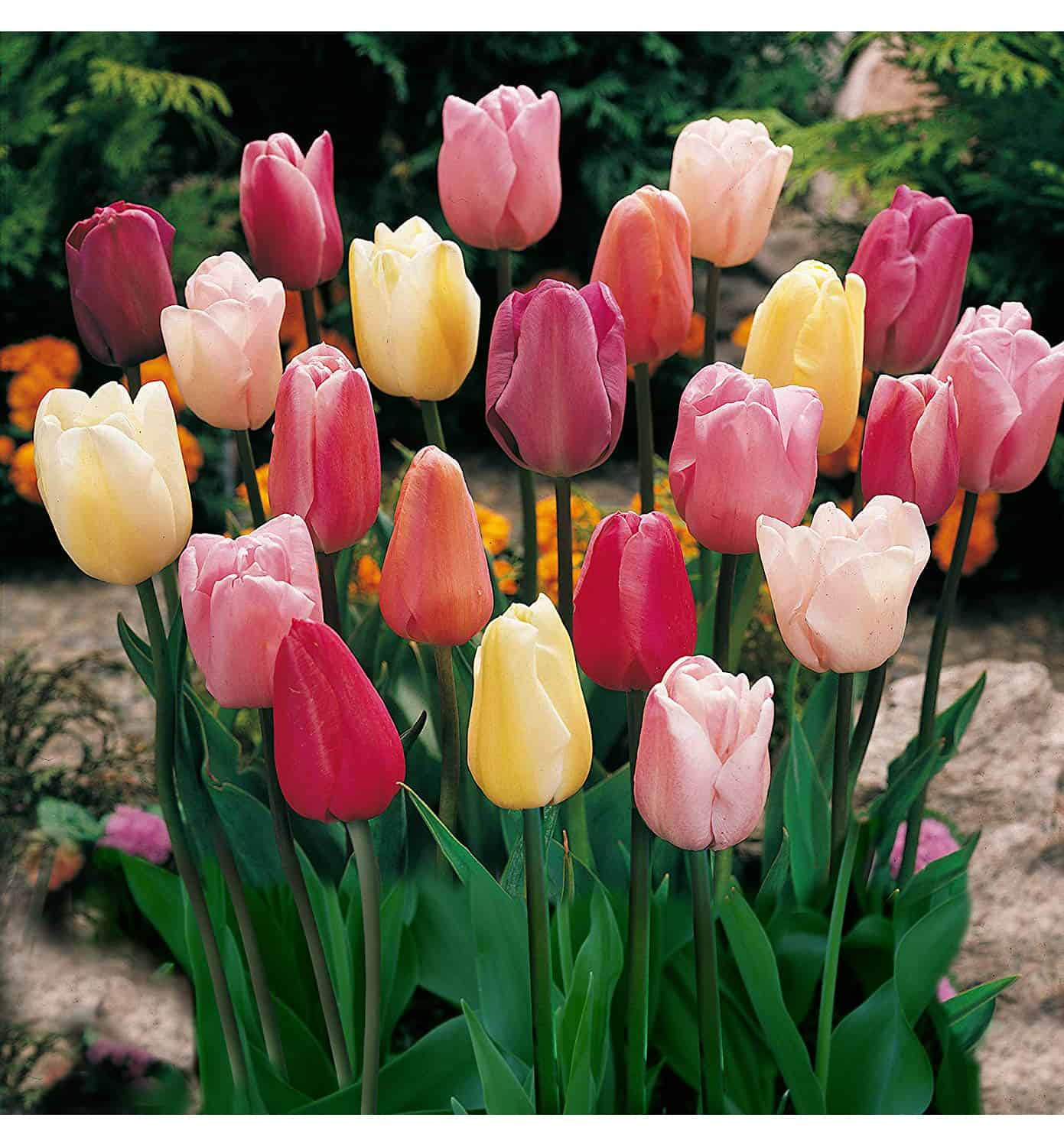 red, pink, and yellow tulips