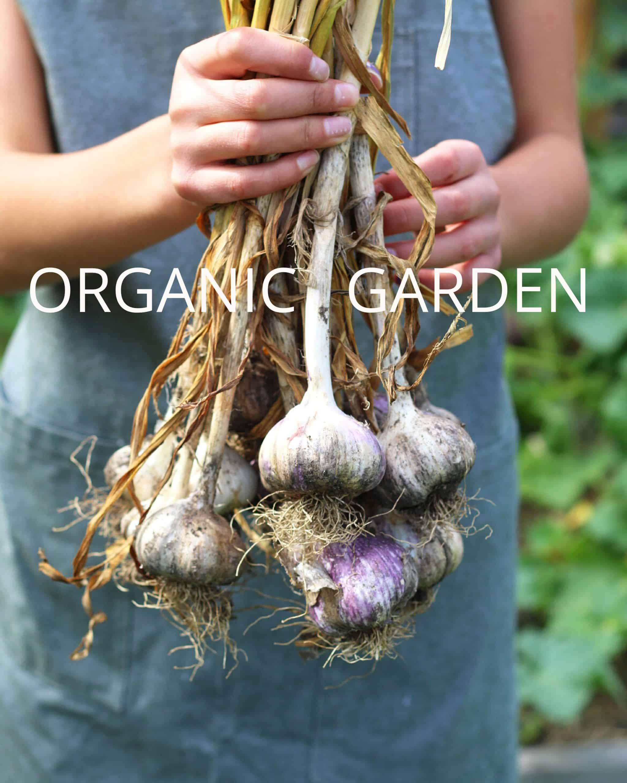 Holding a bunch of organic garlic