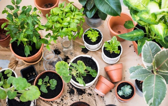 Potting up air purifying houseplants