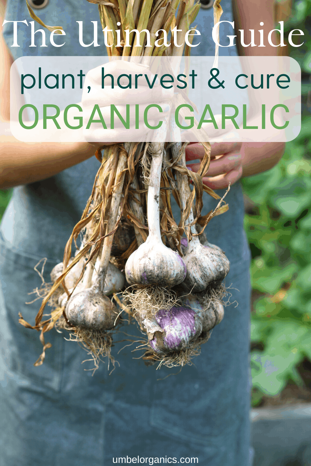 How To Plant, Care For and Harvest Organic Garlic