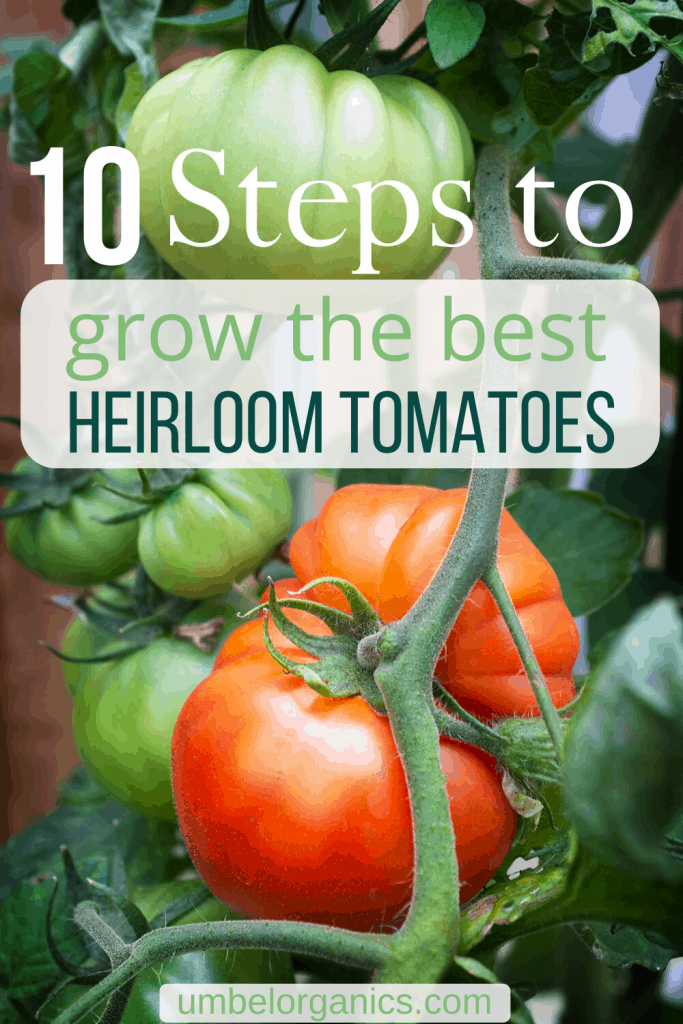 10 steps to grow the best heirloom tomatoes