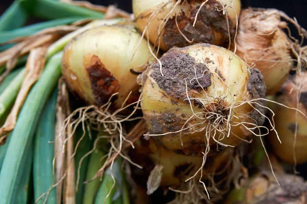 A bunch of garden onions