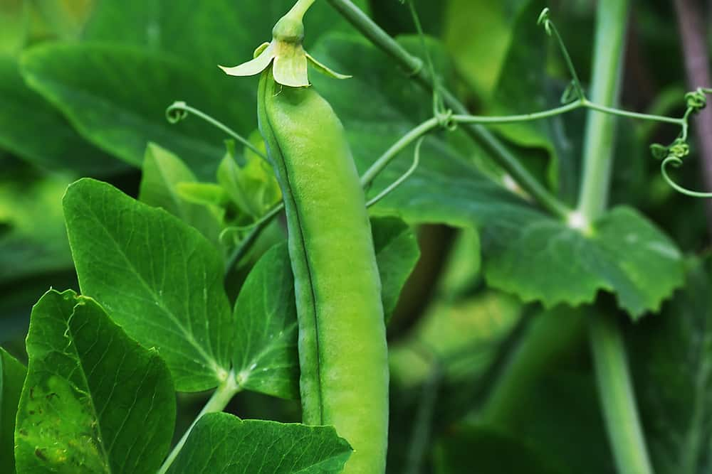 snap pea in the garden