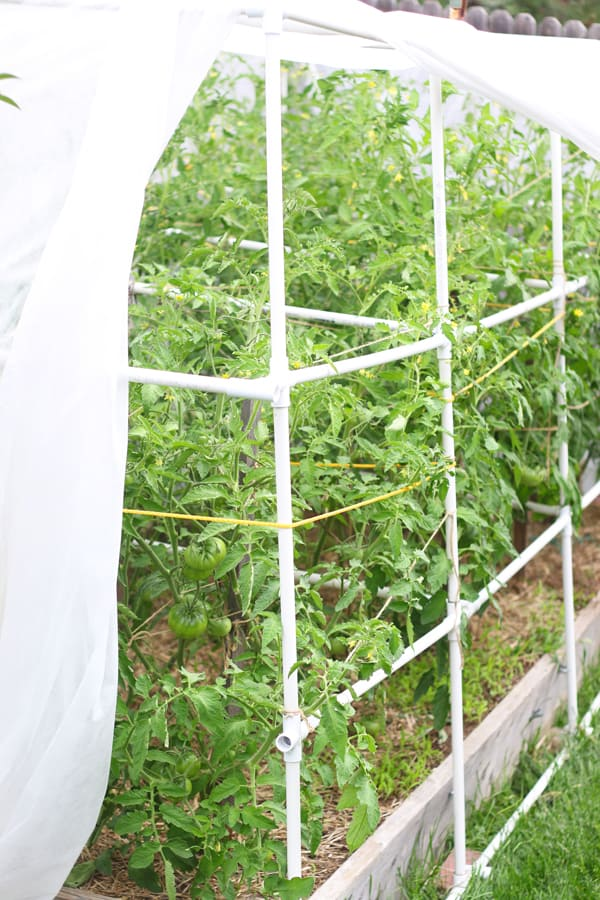 Heirloom Tomatoes in Garden With Staking System
