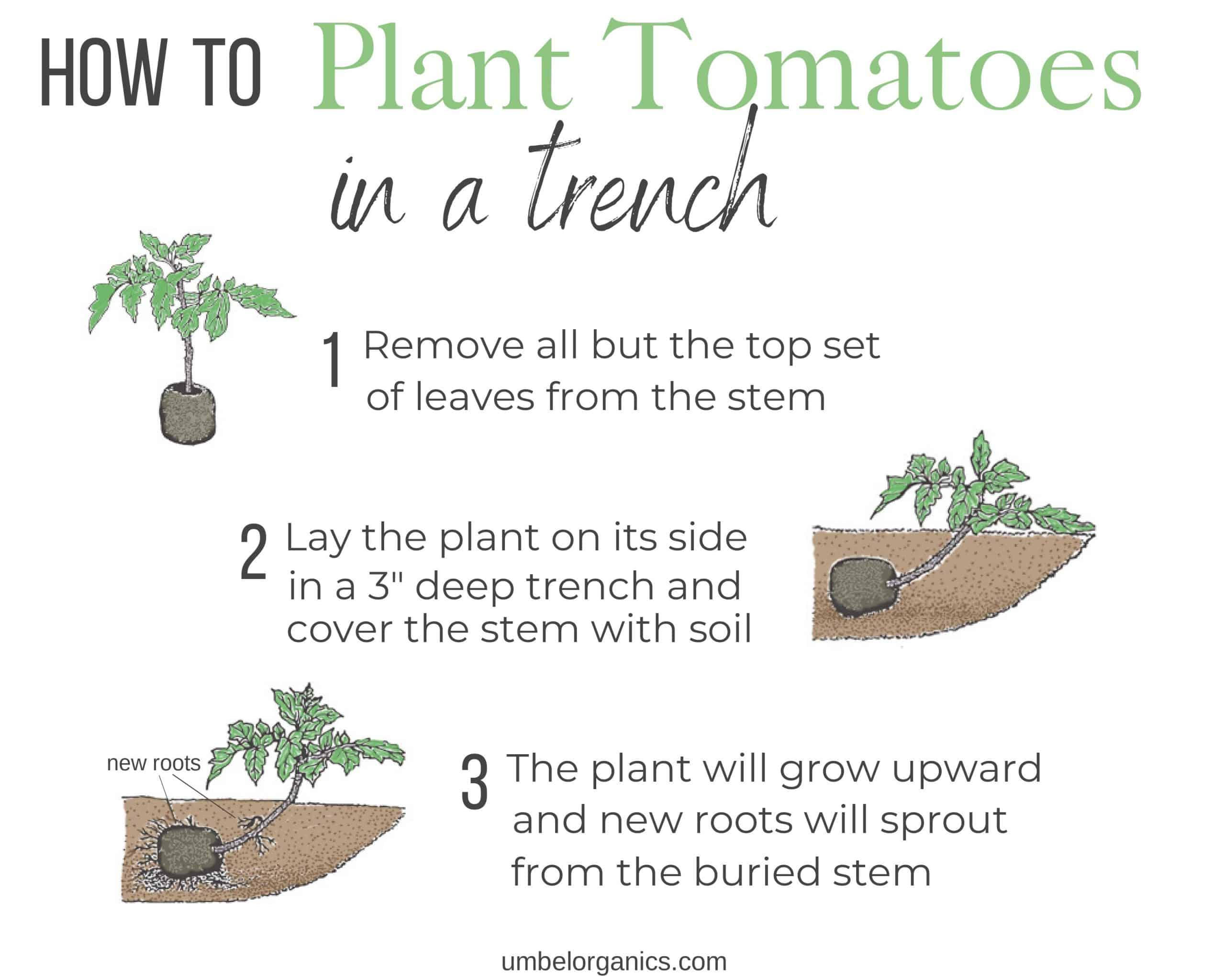 How to plant tomatoes in a trench