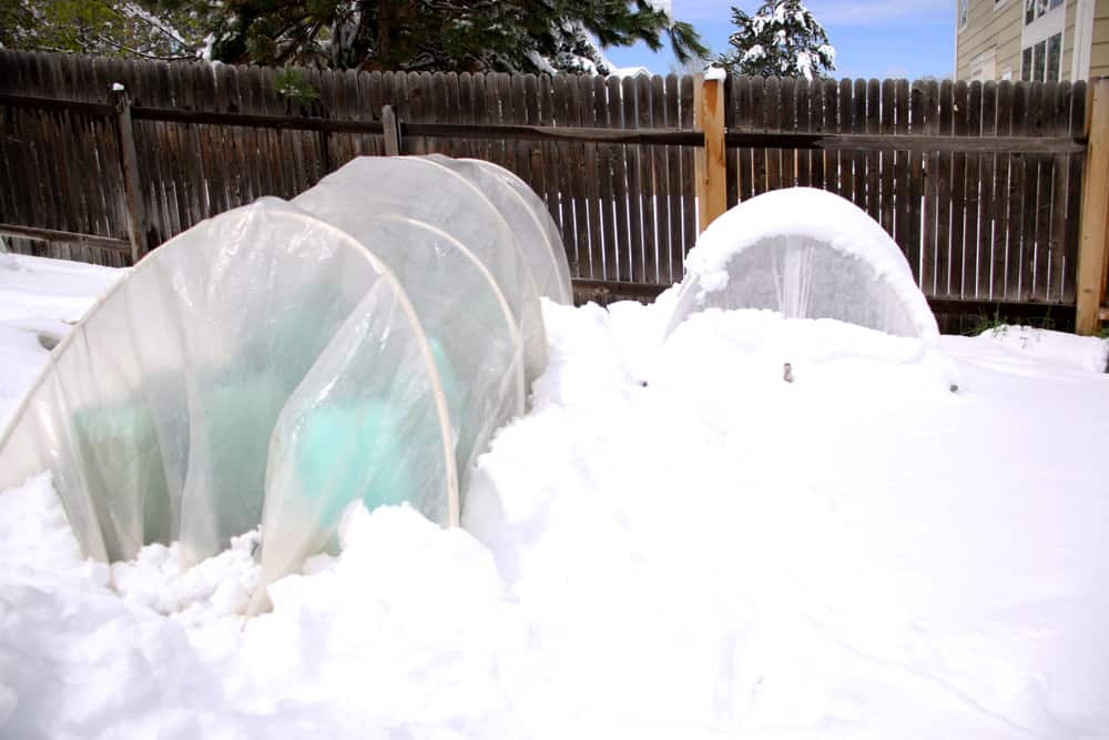 Tomatoes protected by hooptunnels from snowstorm
