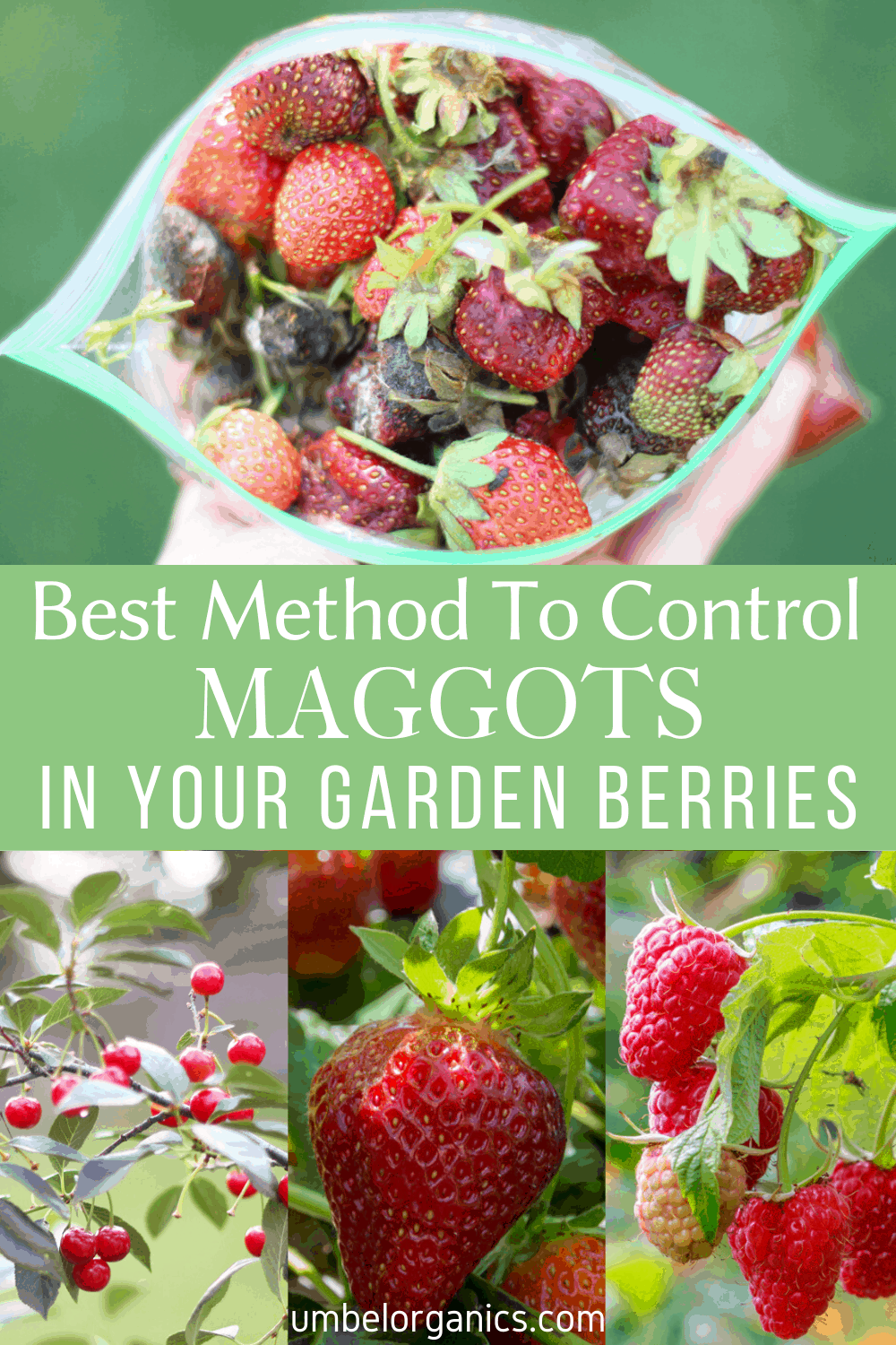 The best method to control fruit flies from ruining your garden berry crops