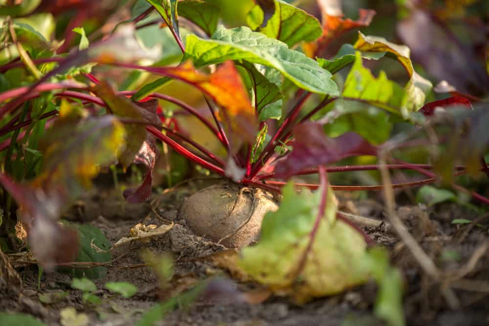 Beet plants in the garden emerging from the soil