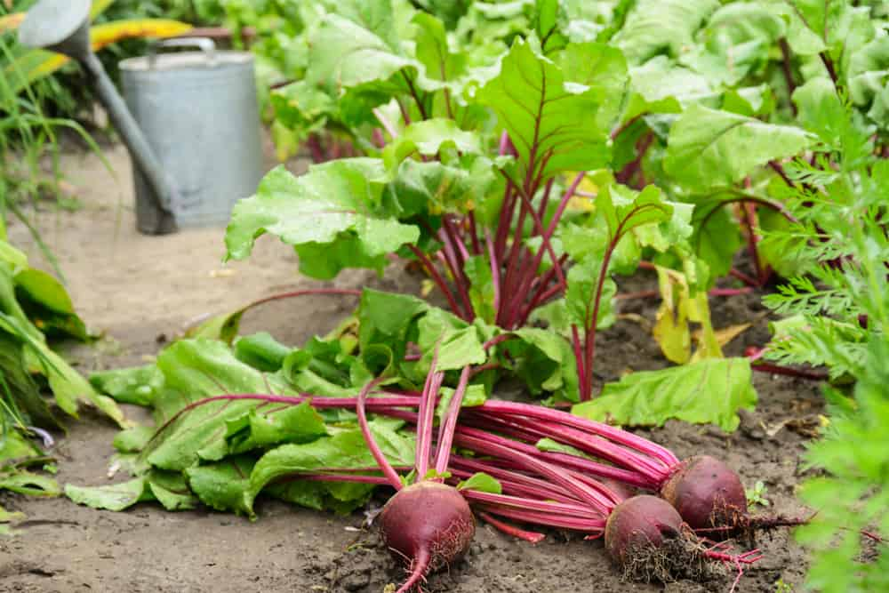 Freshly picked beet plants in the garden