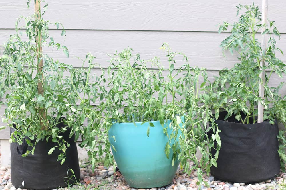 3 tomato plants in containers on side of house