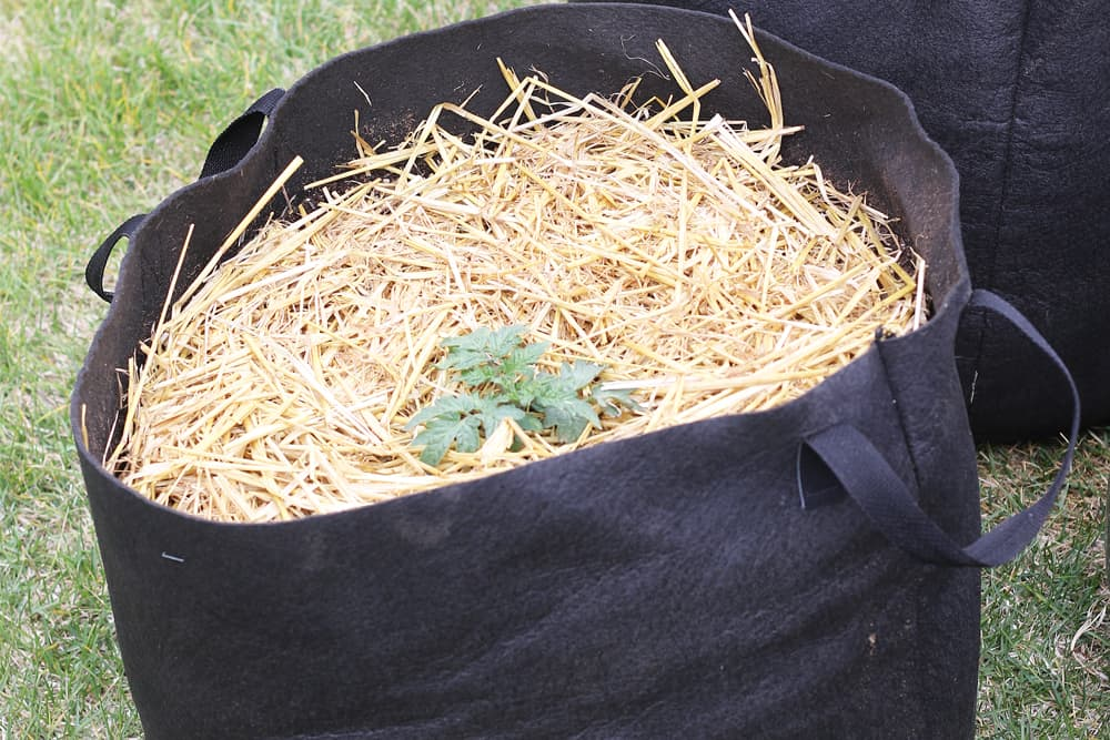 Dwarf tomato planted in grow bag with straw as mulch
