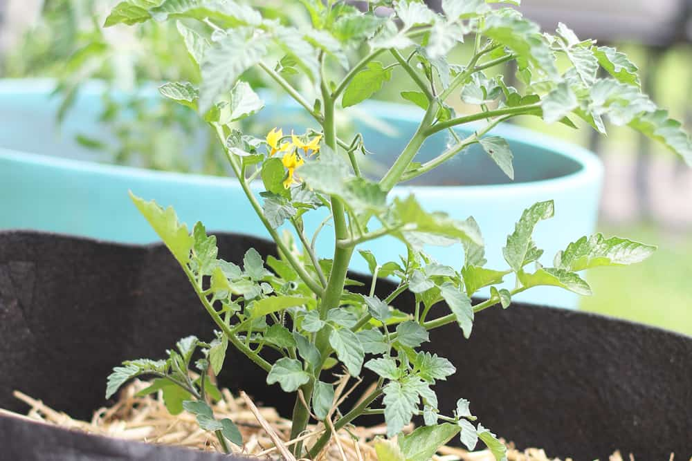 Flowering tomato plant in a fabric grow container
