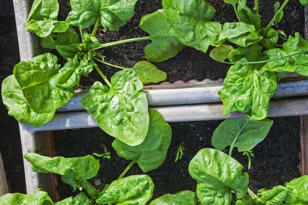 spinach in raised garden bed