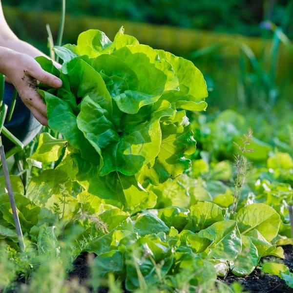 Picking lettuce in the garden