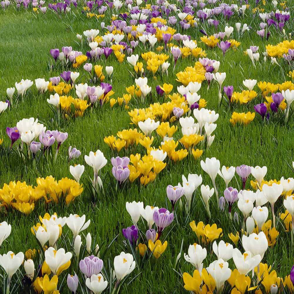 Large yellow, white and purple crocus flowers