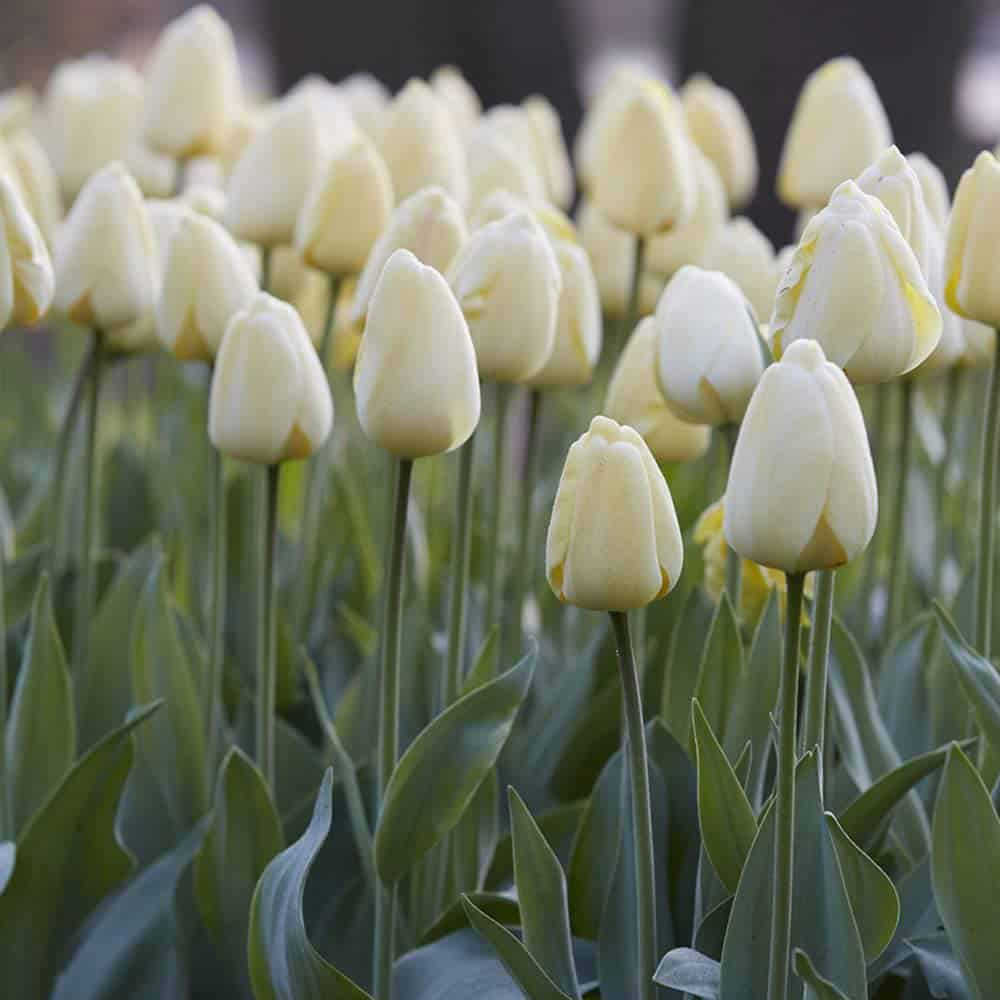 Field of ivory colored tulips