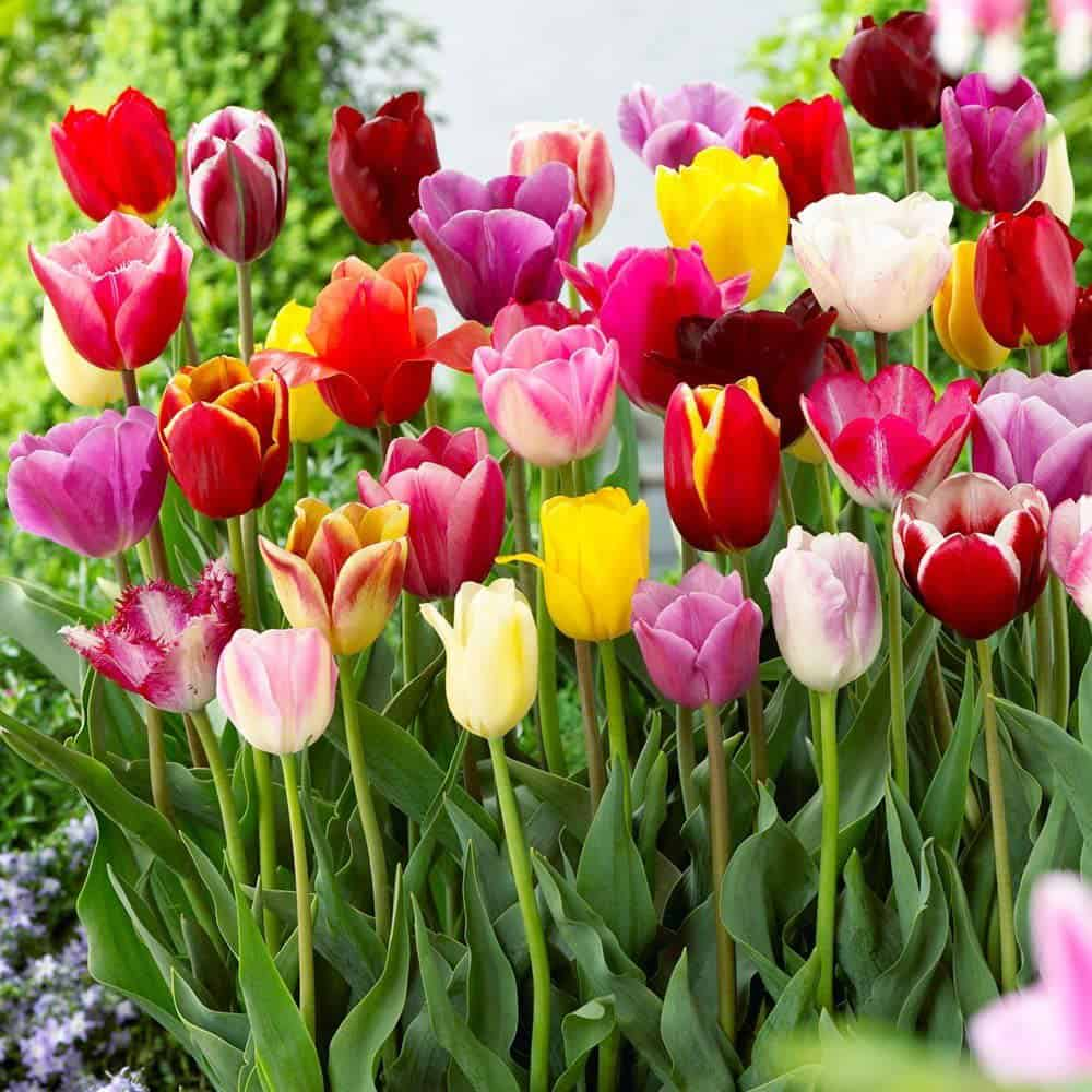 Field of mixed color tulips