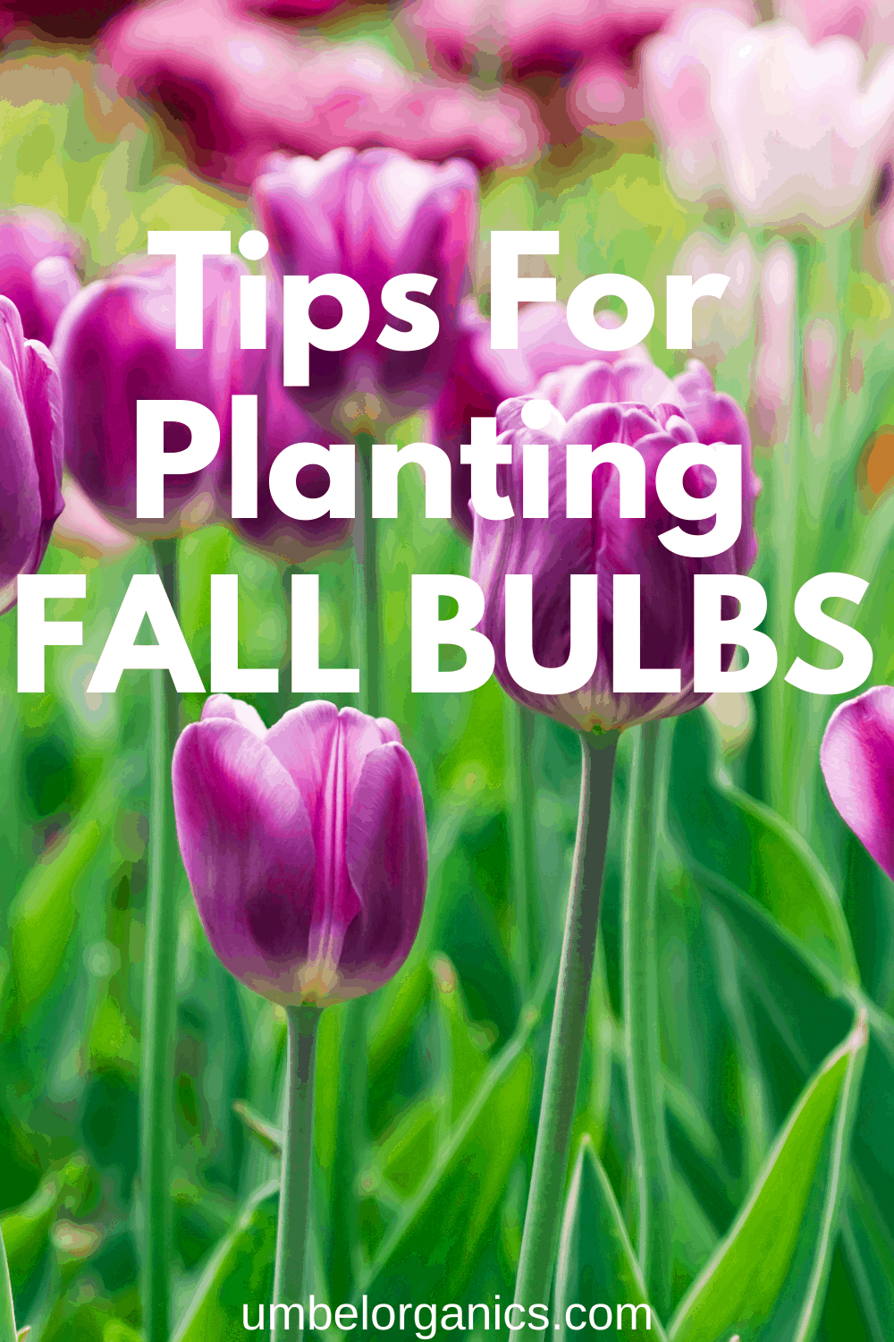 Field of purple tulips with tips for planting fall bulbs