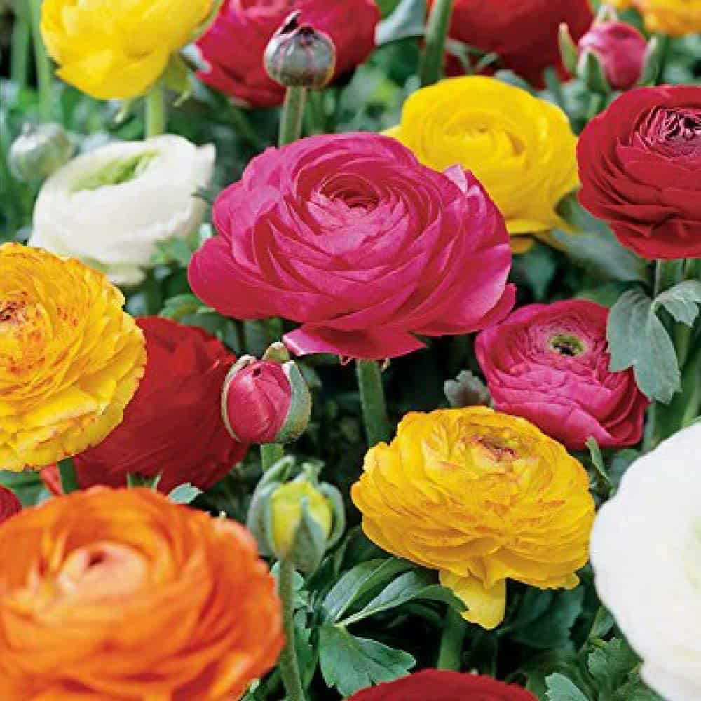Pink, yellow and orange ranunculus flowers