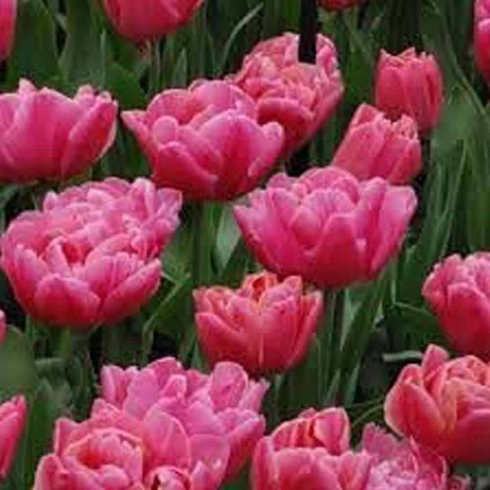 Pink Tropical Tulips
