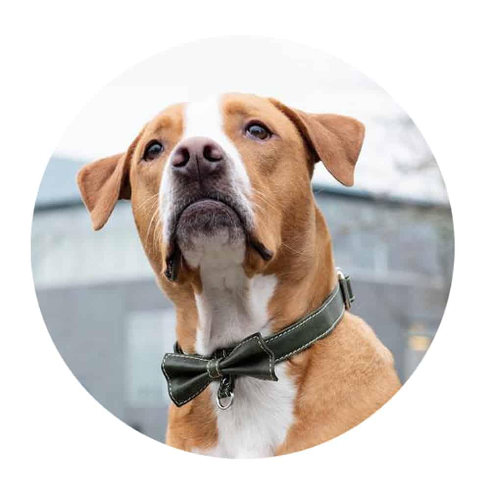 Leather Bow Dog Collar