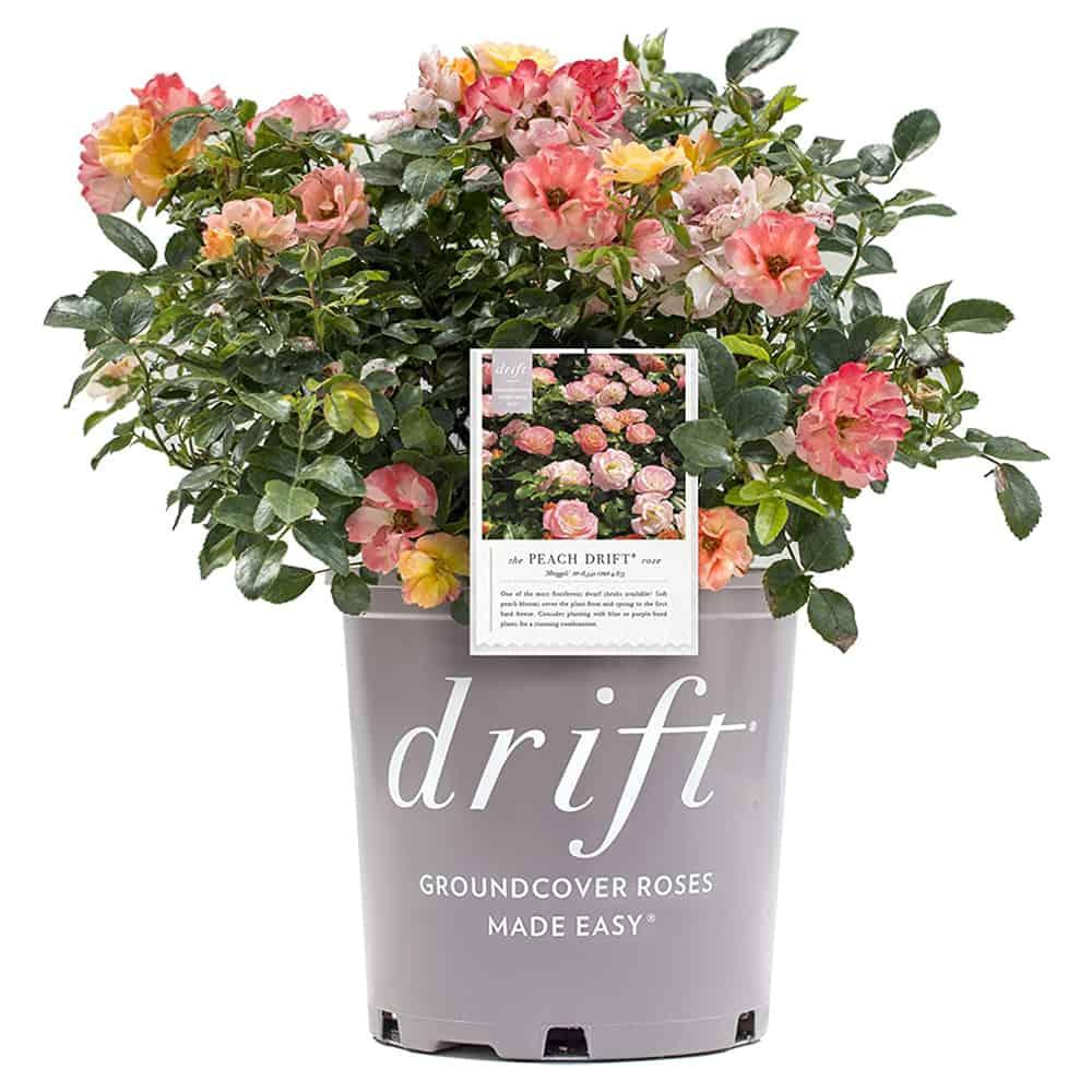 Drift Rose Bush