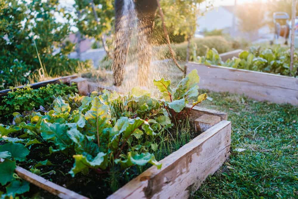 Watering Swiss chard in a raised garden bed